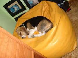 perro_beagle_en_casa