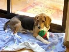 perro_beagle_juguete