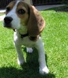 beagle Mateo