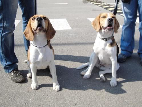 dos beagles en una exposicion canina