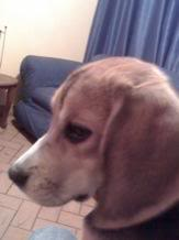 Ambar_beagle_colombia