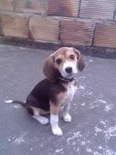 Ambar_beagle_colombia_sentada