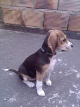 Ambar_beagle_colombia_sentada_patio