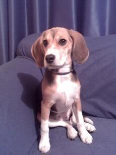 Ambar_beagle_colombia_sentada_sofa