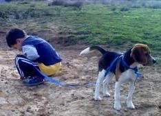 beagle Milo de paseo con niño