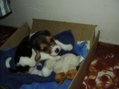 Beagle_Rokco_de_cachorro