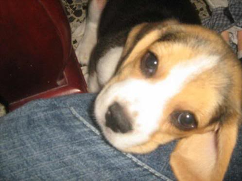 Beagle_princesa_colombia