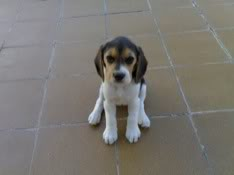 Cachorrita_beagle_Sidra_1