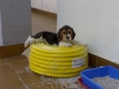 Cachorrita_beagle_Sidra_3
