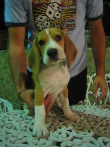 Cachorro_beagle_Booster