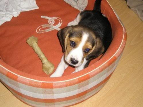 Cachorro_beagle_Pulgas