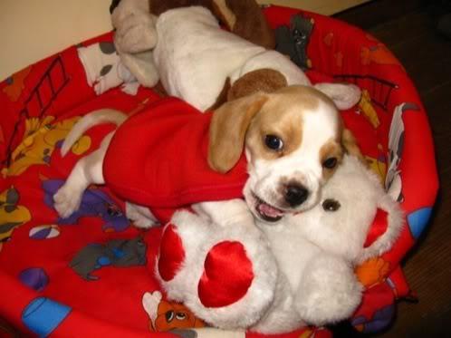 Cachorro_beagle_bicolor