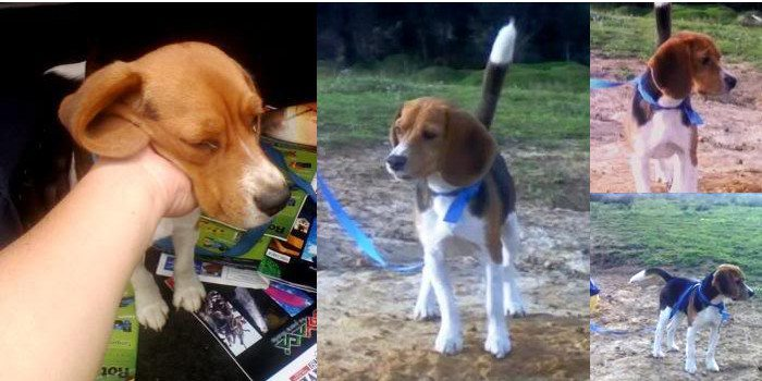 Milo-beagle-rescatado