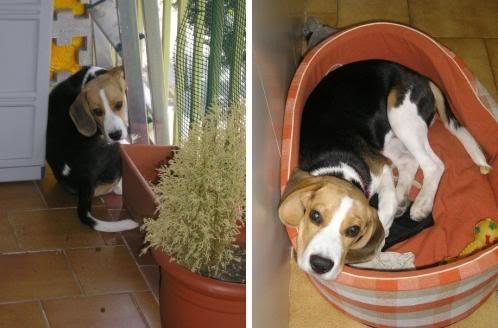beagle_Pulgas_Barcelona