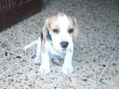 beagle_Zury_sentada