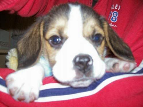 beagle_aquiles_chile