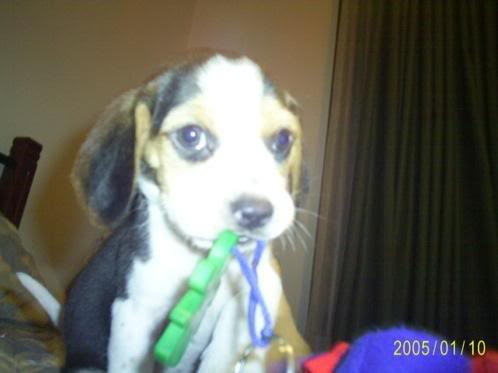 beagle_coco_colombia