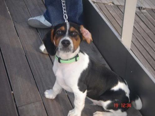 beagle_goofy_barcelona