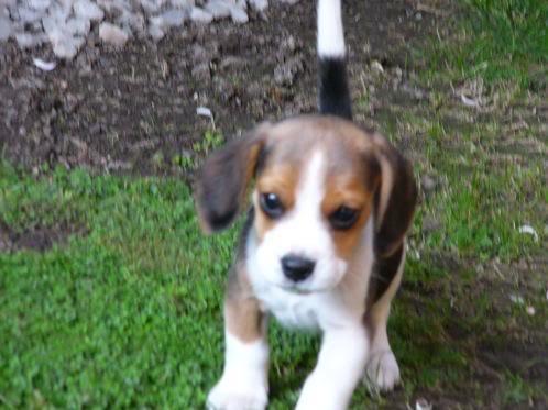 beagle_jimmy_chile