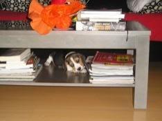 beagle_jugando_bajo_mesa