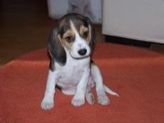 beagle_kira_sentada