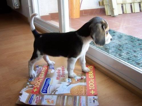 cachorrita_beagle_kira_atenta