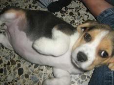 /cachorrita_beagle_princesa_barranquilla