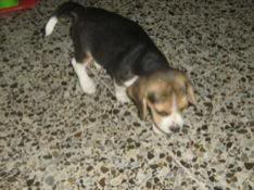 cachorrita_beagle_princesa de colombia2