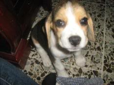 cachorrita_beagle_princesa_colombia