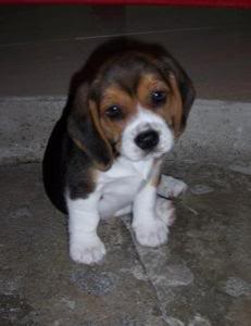 cachorro_beagle_cheo_venezuela