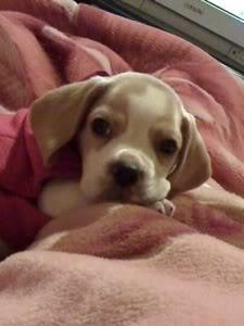 cachorro_beagle_bicolor_en_la_cama