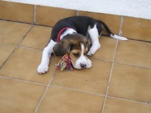 cachorro_beagle_pulgas_jugando