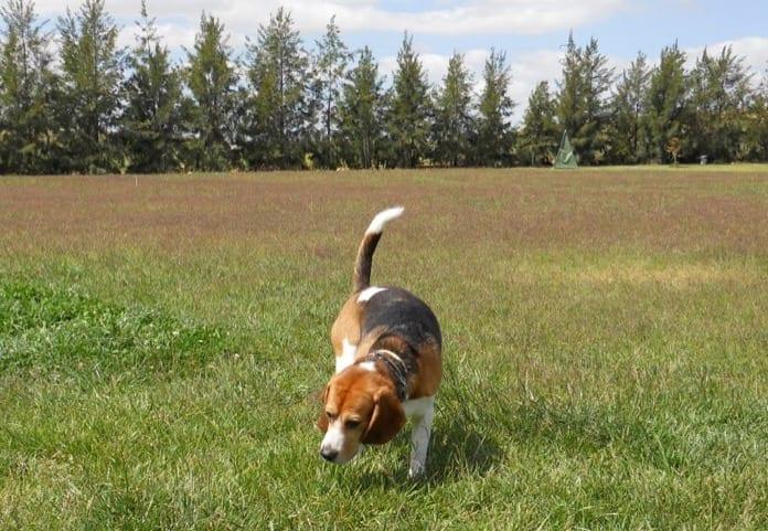 perro beagle Garret disfrutando en la hierba