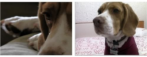 beagle-taco-bicolor-1