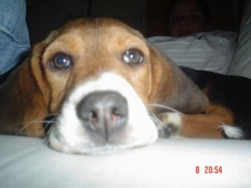beagle_Chenta_de_cerca