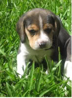beagle_Cookie_cachorrita
