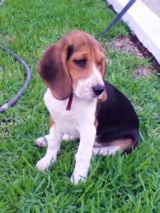 beagle_Maya_sentada