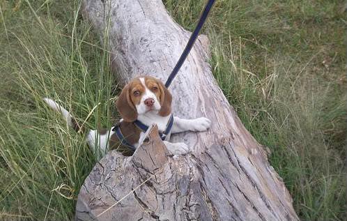 beagle_Taco3_en_tronco
