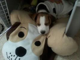 beagle_bownser_dormido