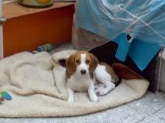 beagle_bownser_echado