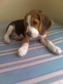 beagle_jack_atento