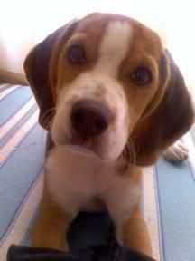 beagle_jack_cachorro