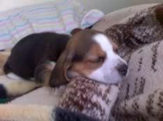 beagle_jack_duerme