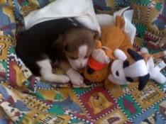 beagle_jack_juguetes