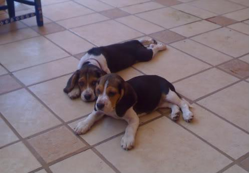 perritas_beagle_Maya_y_Mae