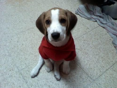 perro_beagle_bownser_con_jersey