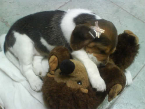 Beagle_Heidi_Mexico