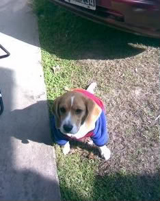 Beagle_Valentina_con_sueter