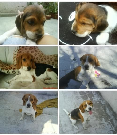Beagles_Heidi_y_Dody_de_Mexico