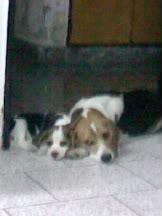 Dos_perros_beagle_Valentina_Morena